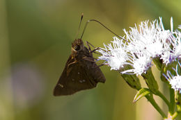 Image of Double-dotted Skipper