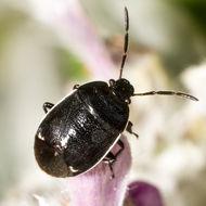 Image of <i>Sehirus cinctus albonotatus</i> Dallas 1851