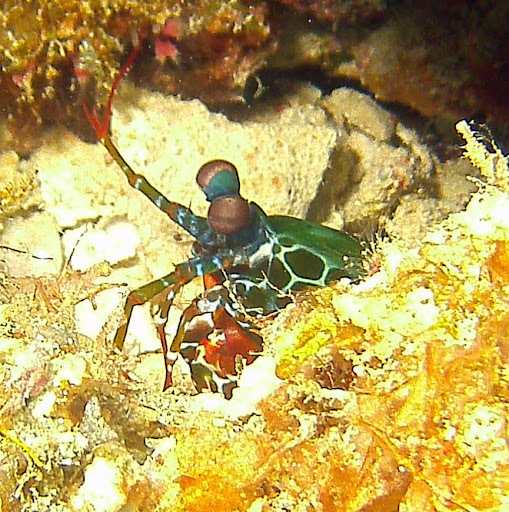 Image of Peacock Mantis Shrimp