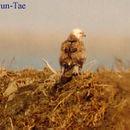 Image of Upland Buzzard