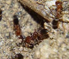 Image of Bi-colored Pyramid Ant