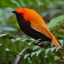Image of Antenna Satinbird