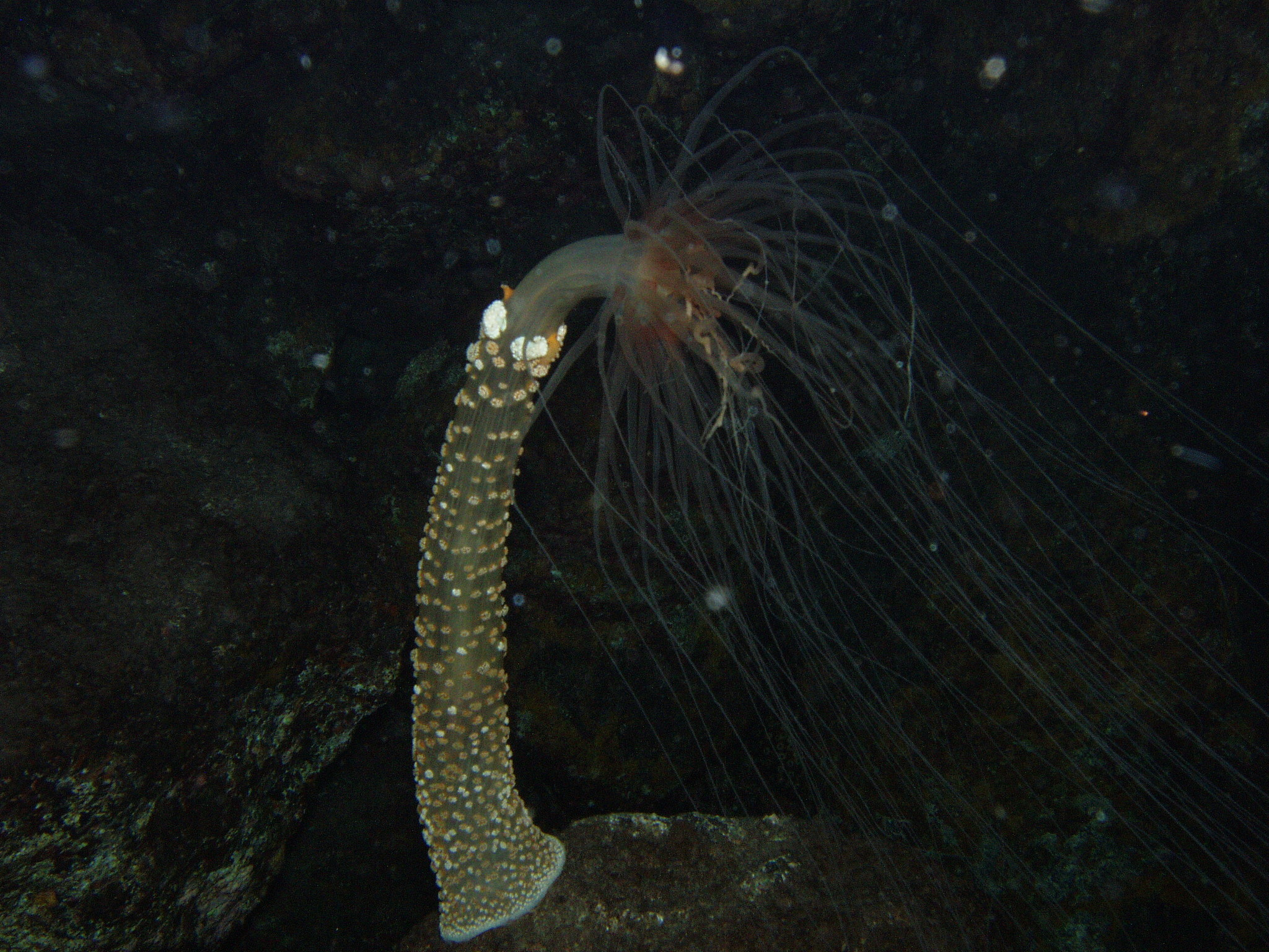 Image of Berried anemone