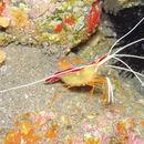 Image of redbacked cleaner shrimp