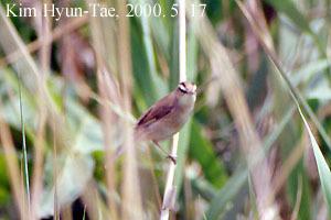 Image of Black-browed Reed Warbler