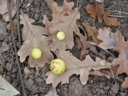 Image of cherry gall