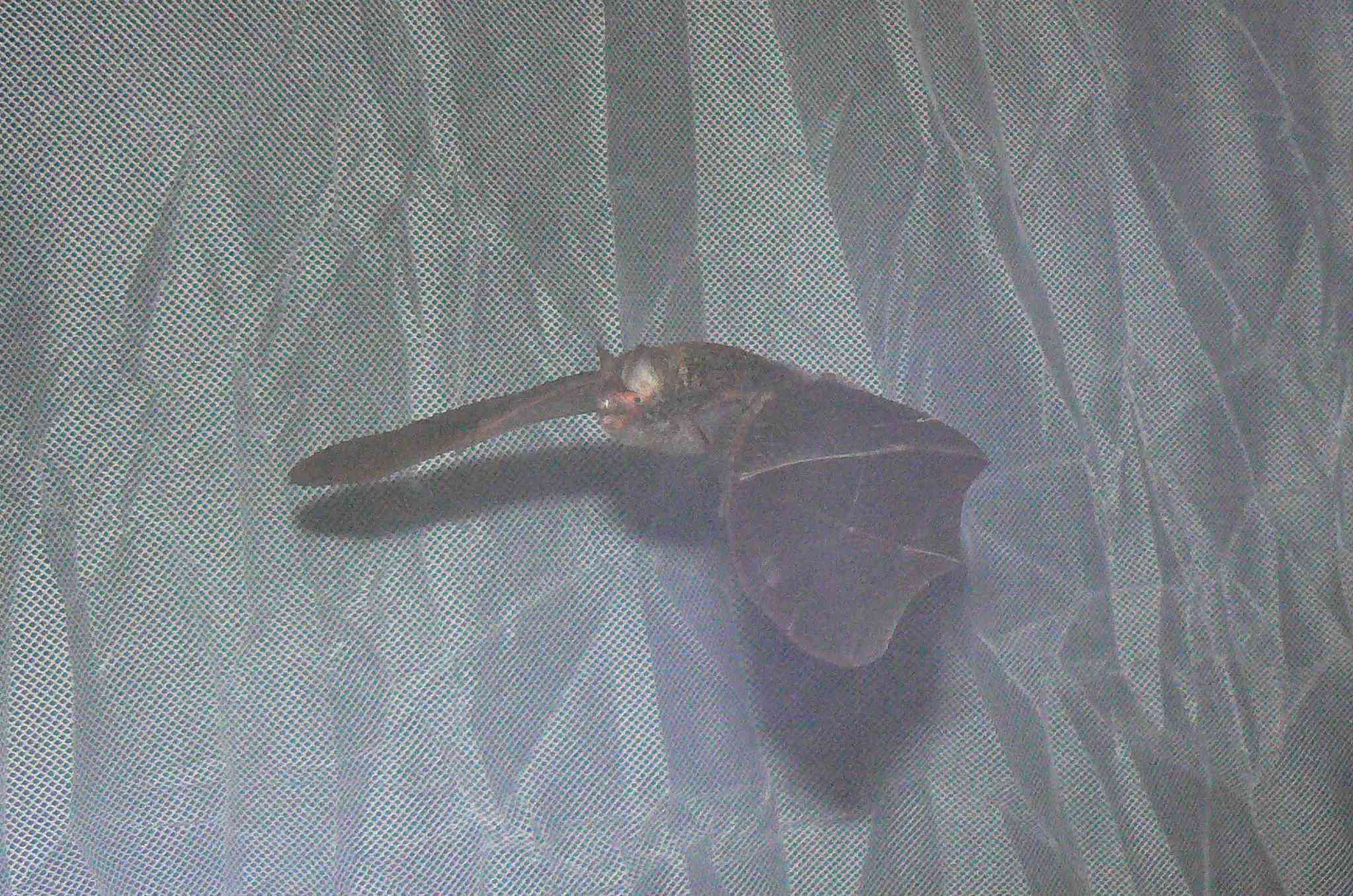 Image of Smith's Woolly Bat