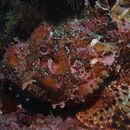 Image of Bigscale Scorpionfish