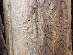 Image of <i>Scolytus multistriatus</i>