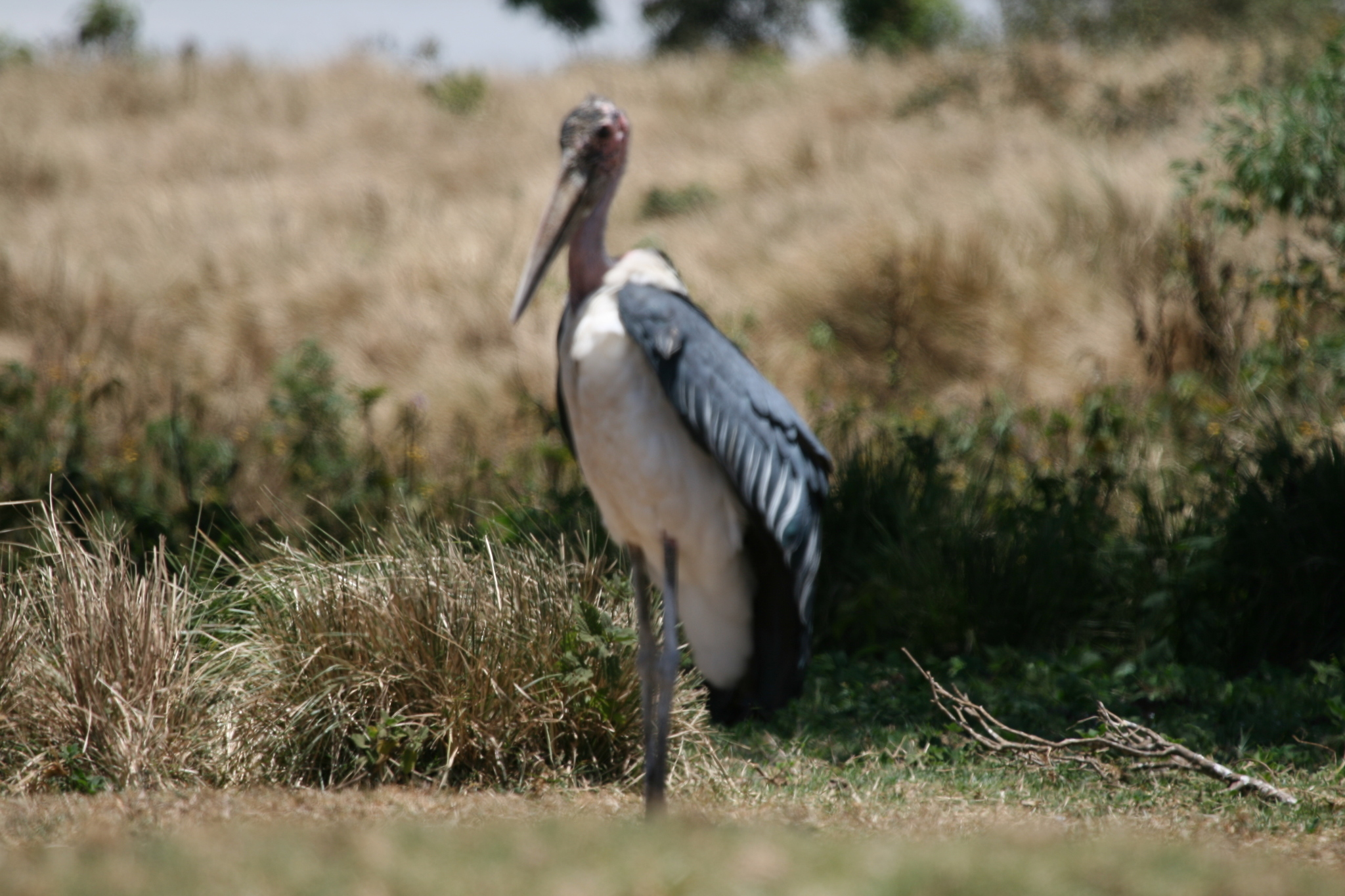 Image of Marabou Stork