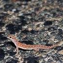 Image of Beaked Gecko