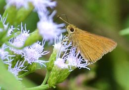 Image of Julia's Skipper