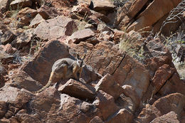 Image of Ringtailed rock wallaby