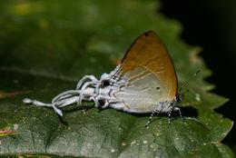 Image of <i>Zeltus amasa</i>