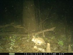 Image of eastern cottontail
