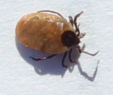 Image of Brown dog tick