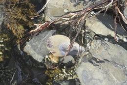 Image of <i>Atrina zelandica</i>