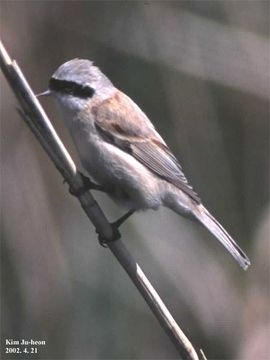 Image of Chinese Penduline Tit