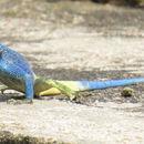 Image of Blue-throated Agama
