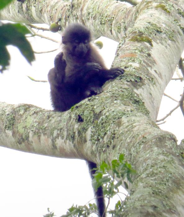 Image of <i>Lophocebus ugandae</i>