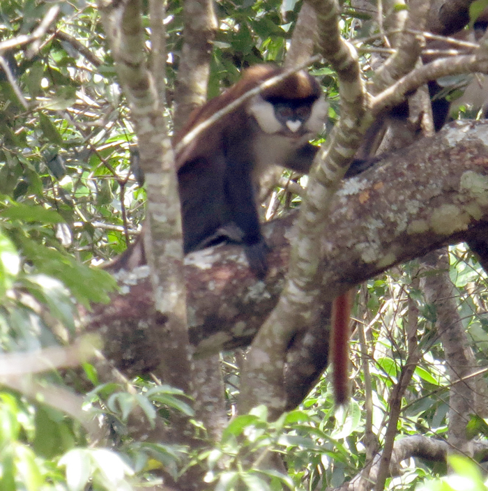 Image of Schmidt's Red-tailed Monkey