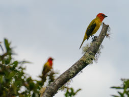Image of Red-hooded Tanager