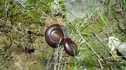 Image of San Diego chestnut