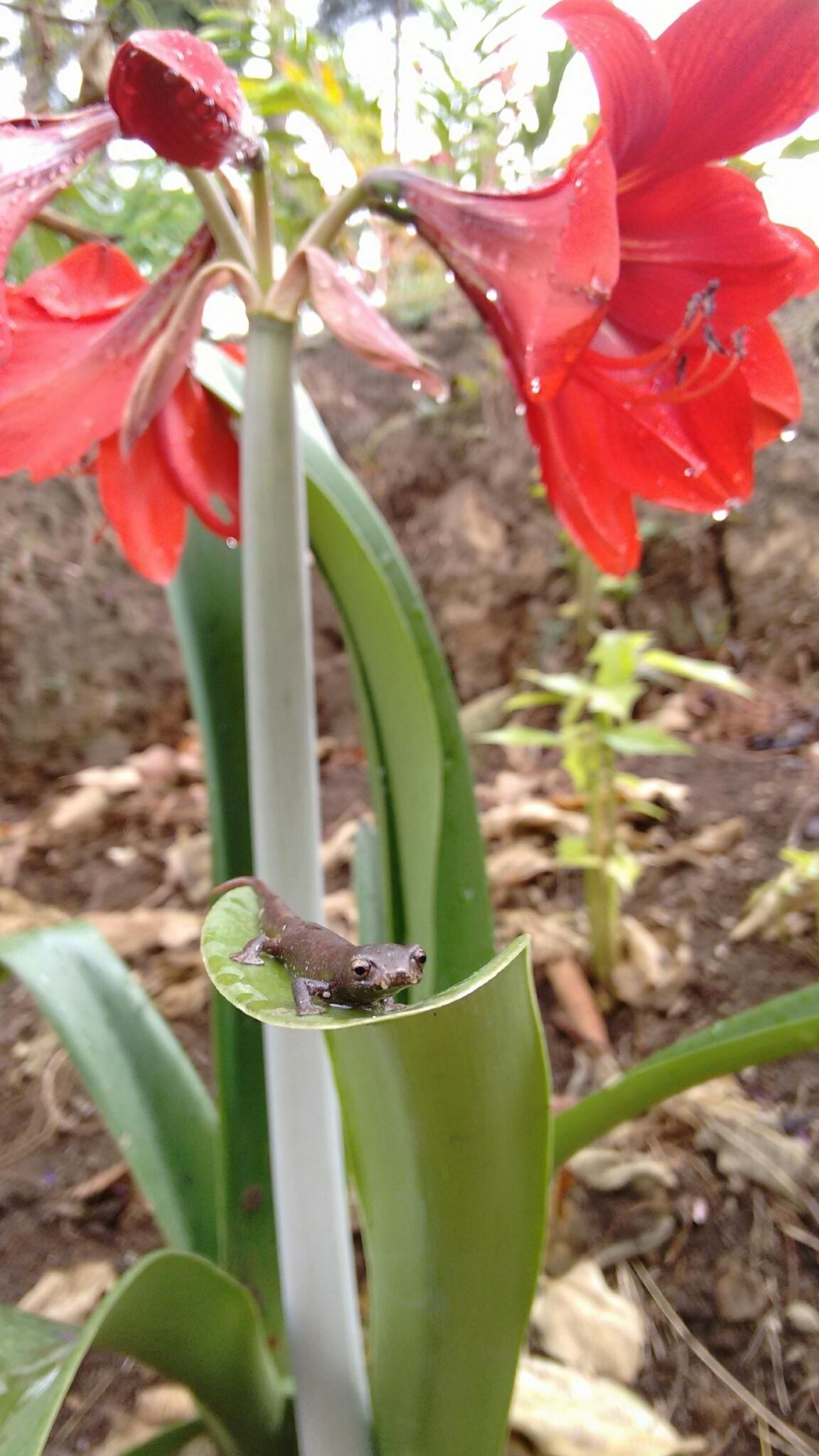 Image of Ramos' Mushroomtongue Salamander
