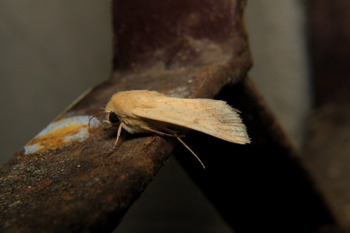 Image of cotton bollworm