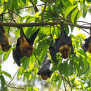 Image of Pemba Flying Fox