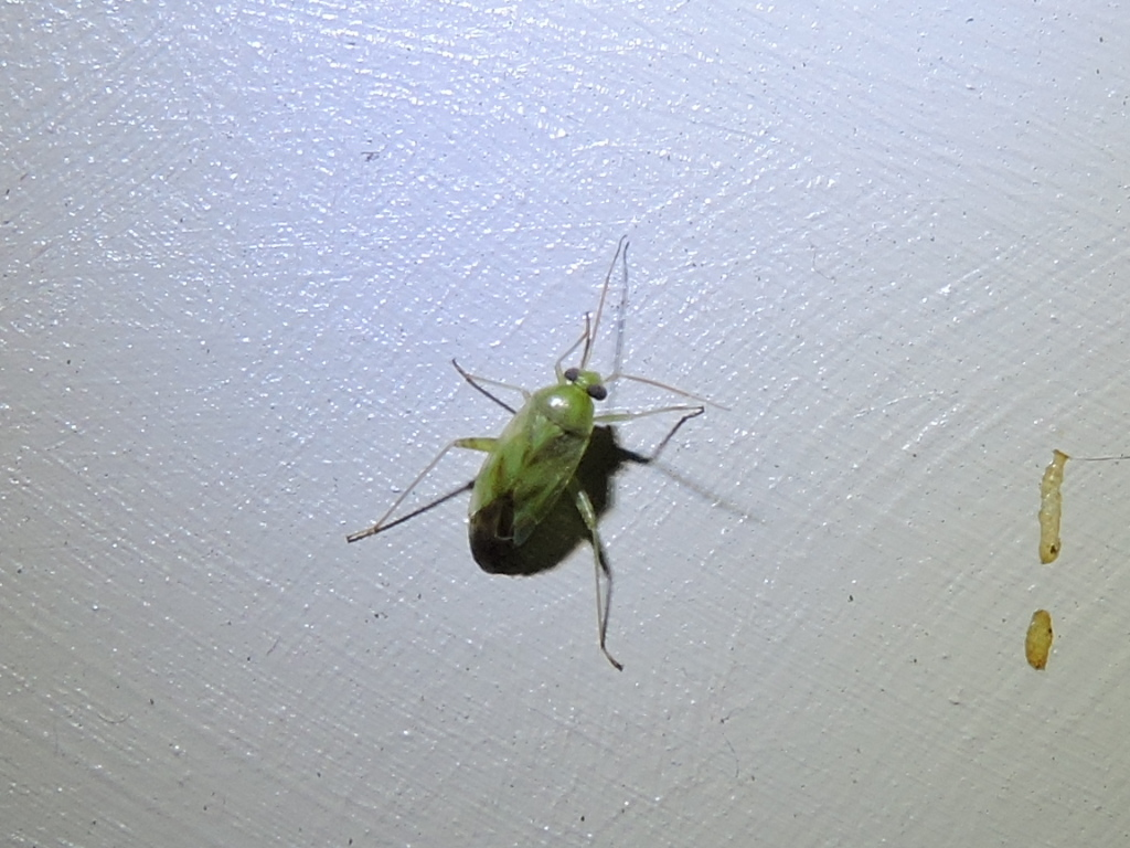 Image of Broken-backed Bug