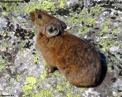 Image of Alpine Pika