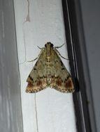 Image of Dimorphic Macalla