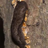 Image of <i>Megapallifera mutabilis</i> (Hubricht 1951)