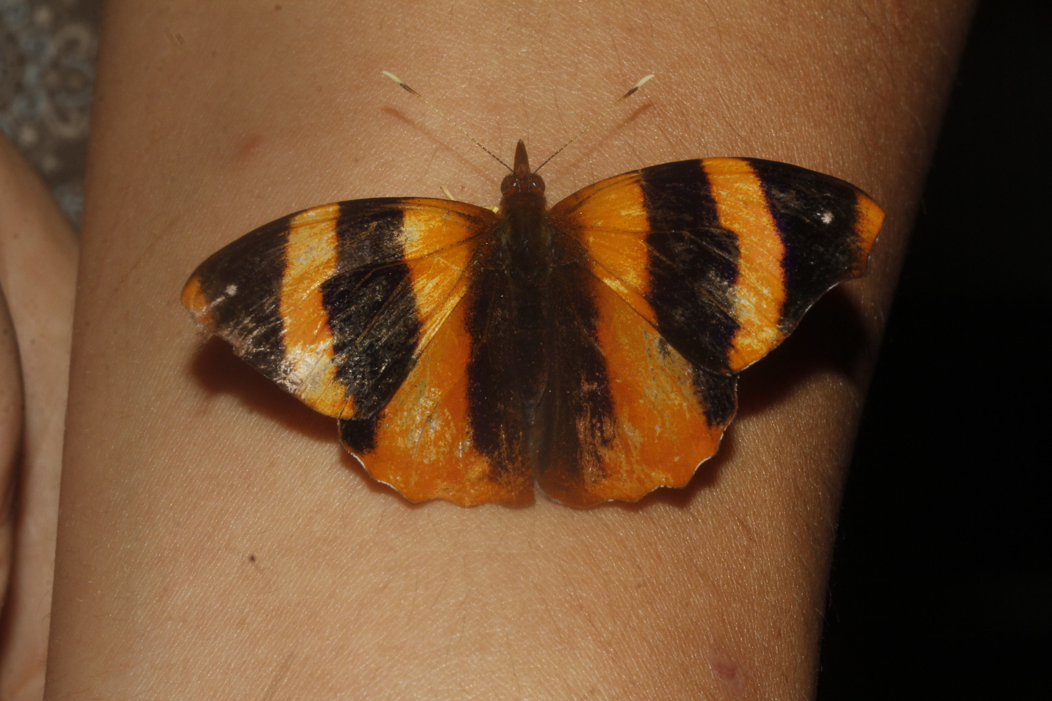 Image of <i>Epiphile <i>adrasta</i></i> ssp. adrasta