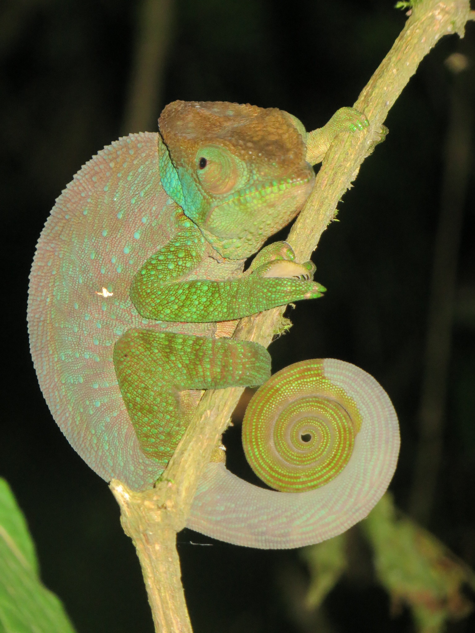 Image of O'Shaughnessy's Chameleon