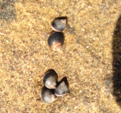 Image of eroded periwinkle