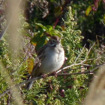 Image of Lark Sparrow
