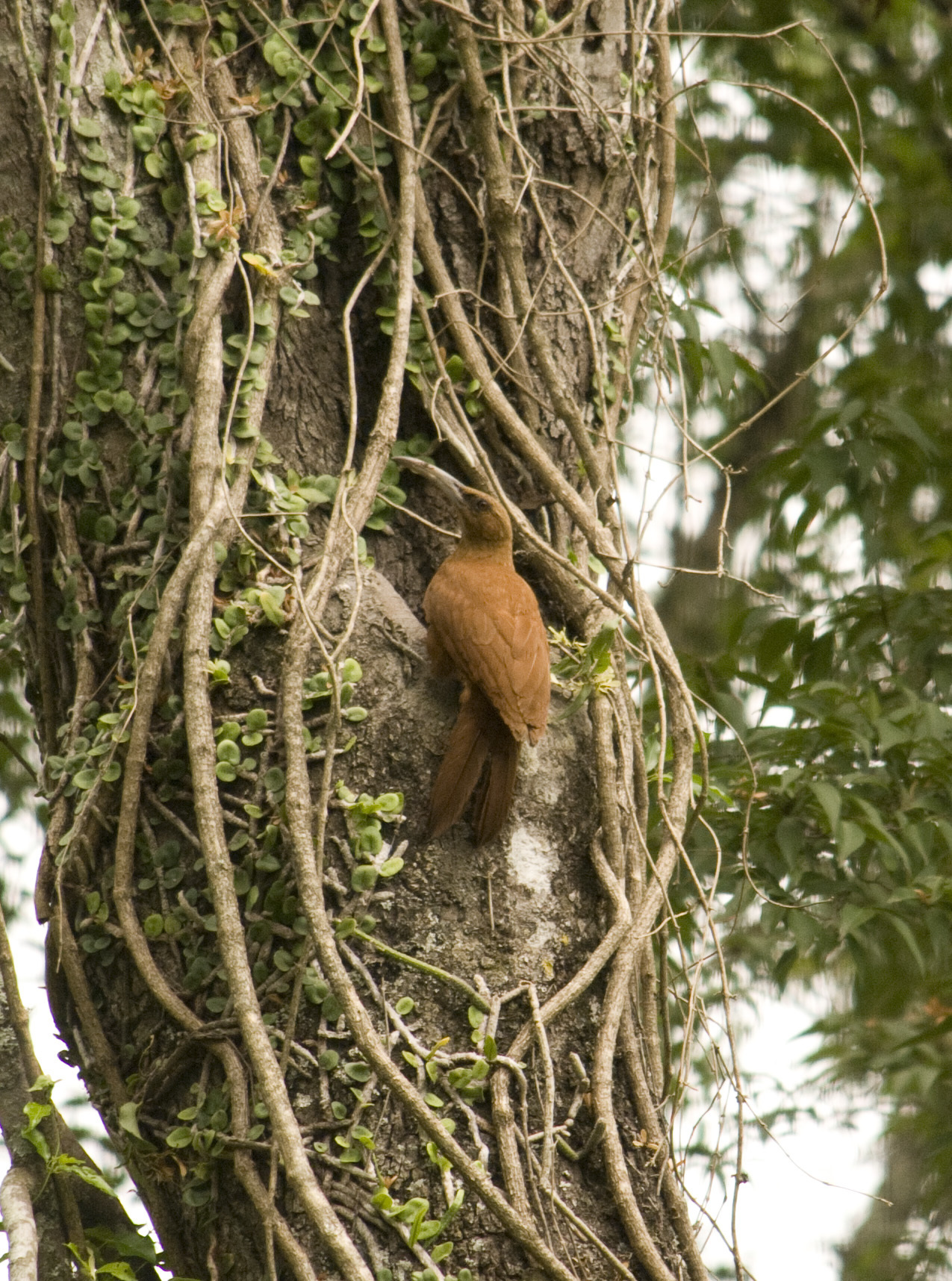 Image of Great Rufous Woodcreeper