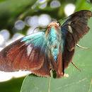 Image of <i>Astraptes alector</i> ssp. <i>hopfferi</i>