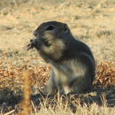 Image of Nelson's antelope squirrel
