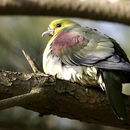 Image of White-bellied Green Pigeon