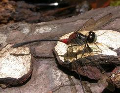 Image of <i>Nesogonia blackburni</i> (Mc Lachlan 1883)