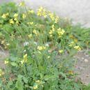 Image of <i>Brassica fruticulosa</i>