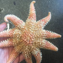 Image of Common sunstar
