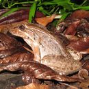 Image of Bolivian White-lipped Frog