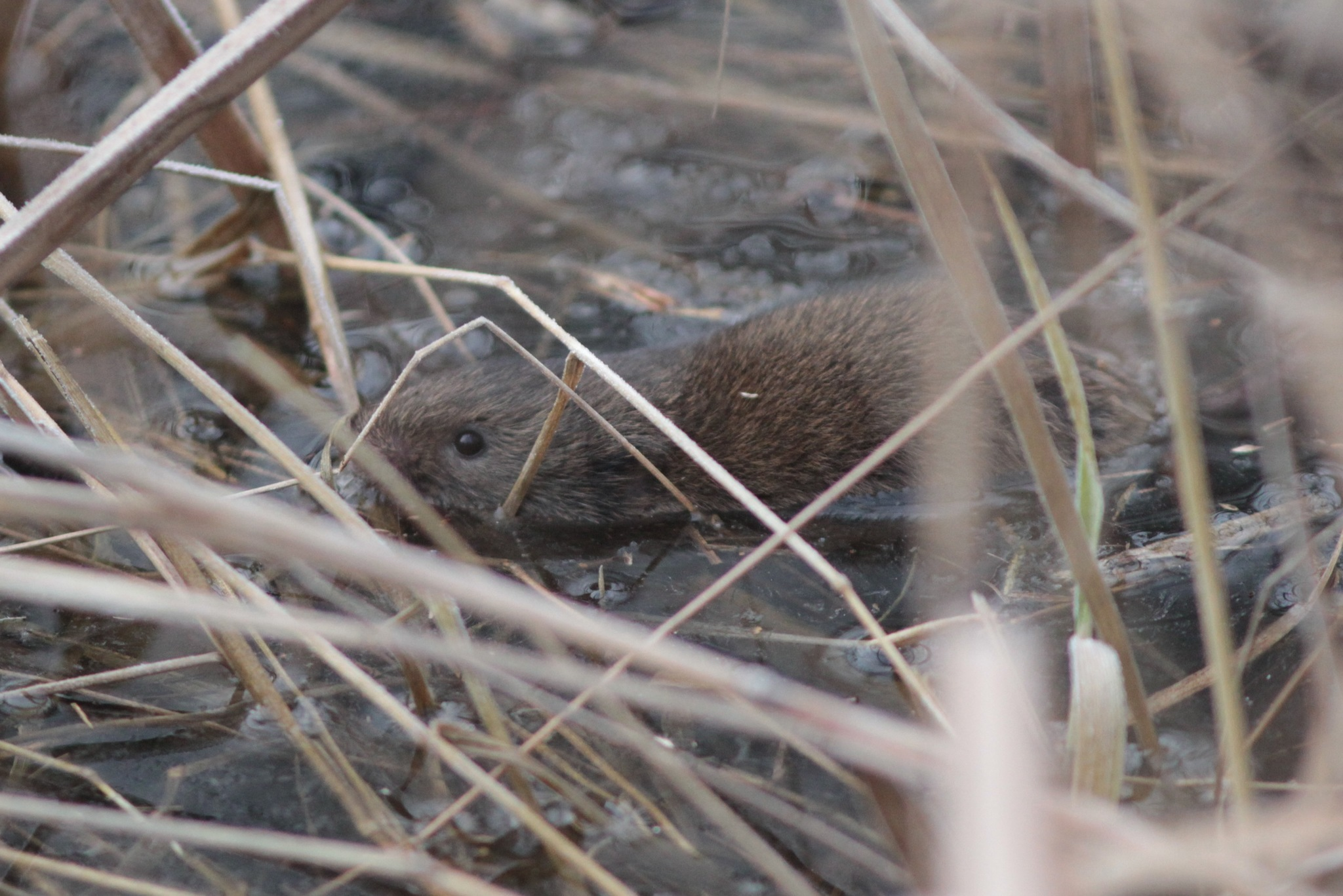 Image of Chihuahua Vole