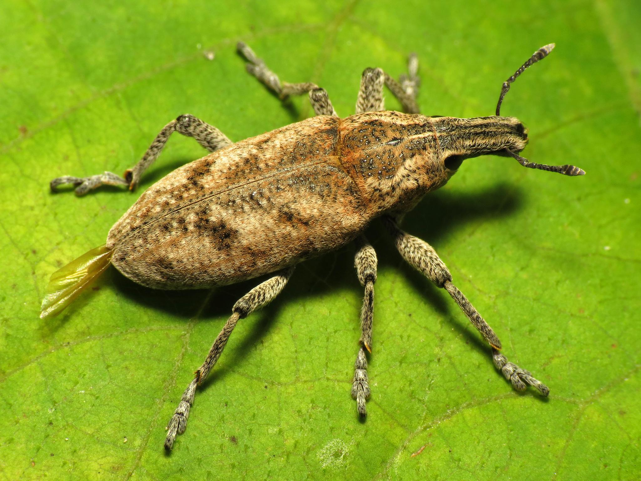 Image of Sluggish weevil