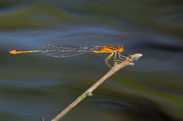 Image of Florida Bluet