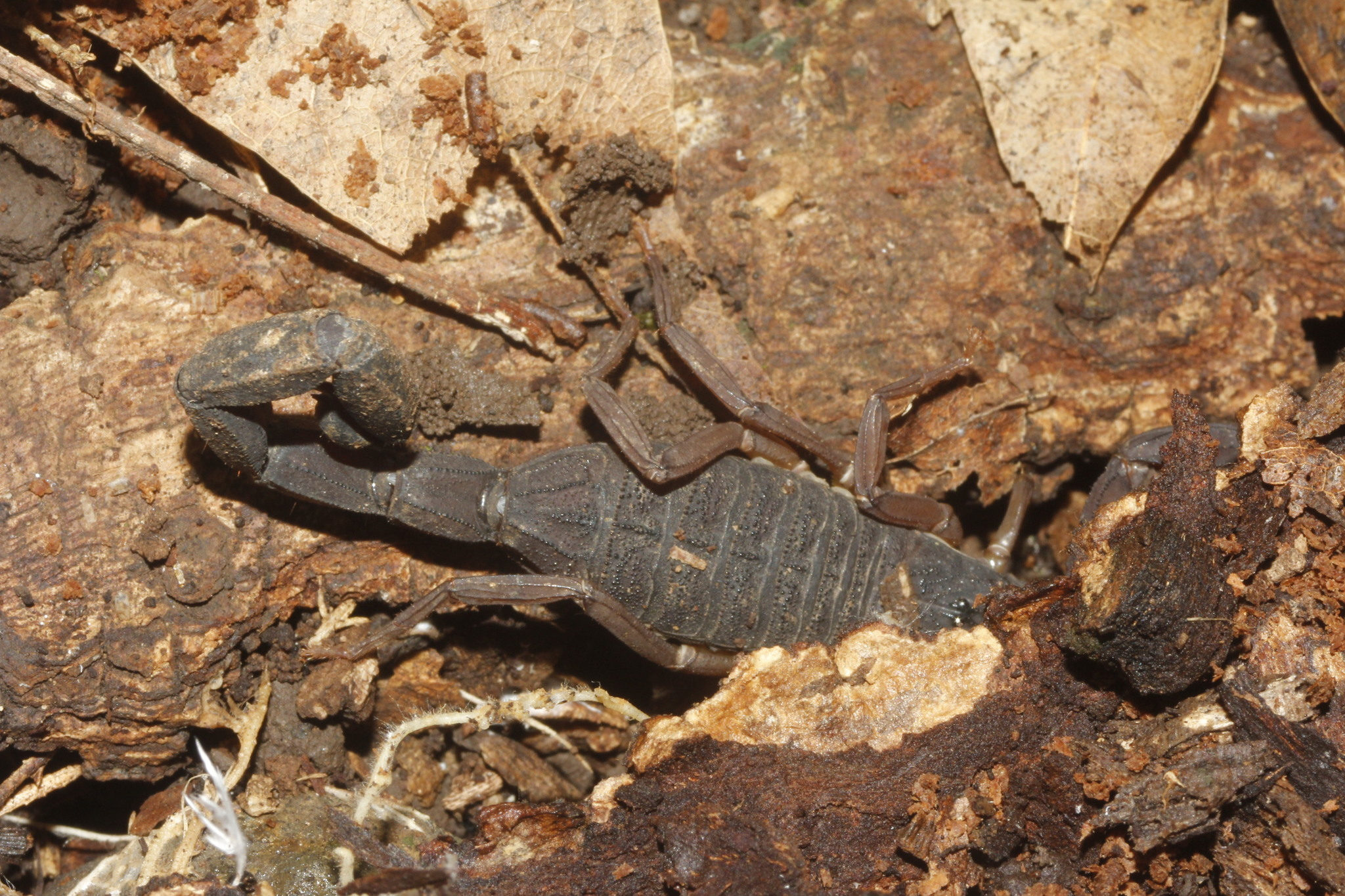 Image of <i>Centruroides gracilis</i>